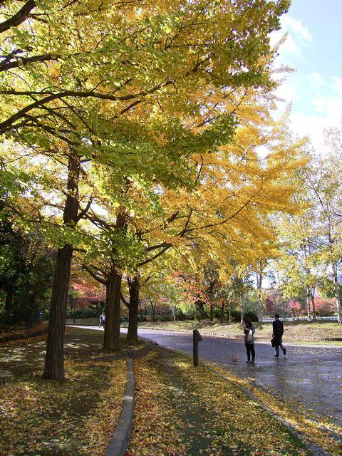 中島公園銀杏並木.jpg