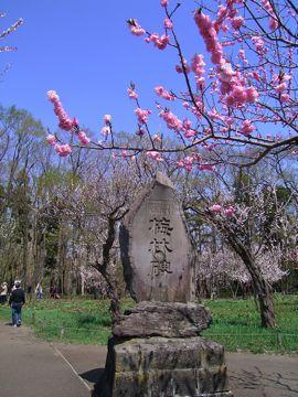 桜神宮③梅.jpg