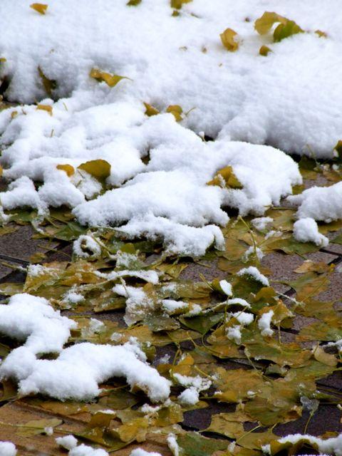雪と銀杏の落葉.jpg